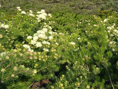 Melaleuca urceolaris