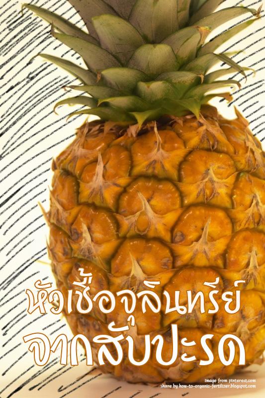 หัวเชื้อจุลินทรีย์จากสับปะรด