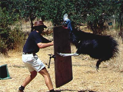 Cassowary images
