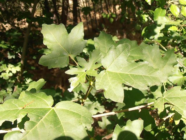 ARCE CAMPESTRE: Acer campestre