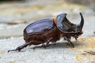 Para ampliar Oryctes nasicornis (Escarabajo rinoceronte) hacer clic