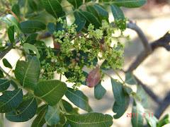 Abelha na flor da barauna II