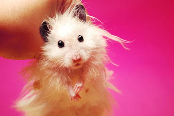 Teddy Bear Hamster Black And White