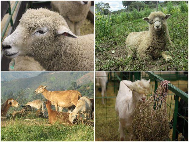 Importante: El ICA ofrece curso virtual para implementadores de las BPG en la producción de ovinos y caprinos