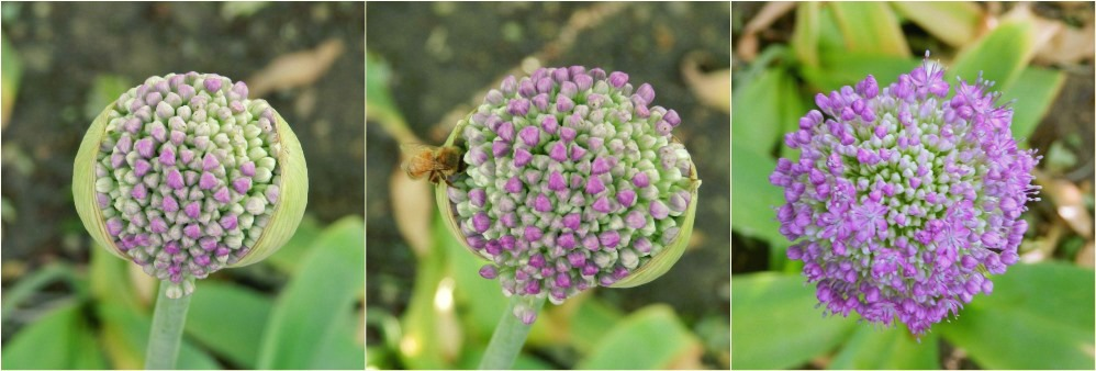 Progression of Allium Flowers Photography