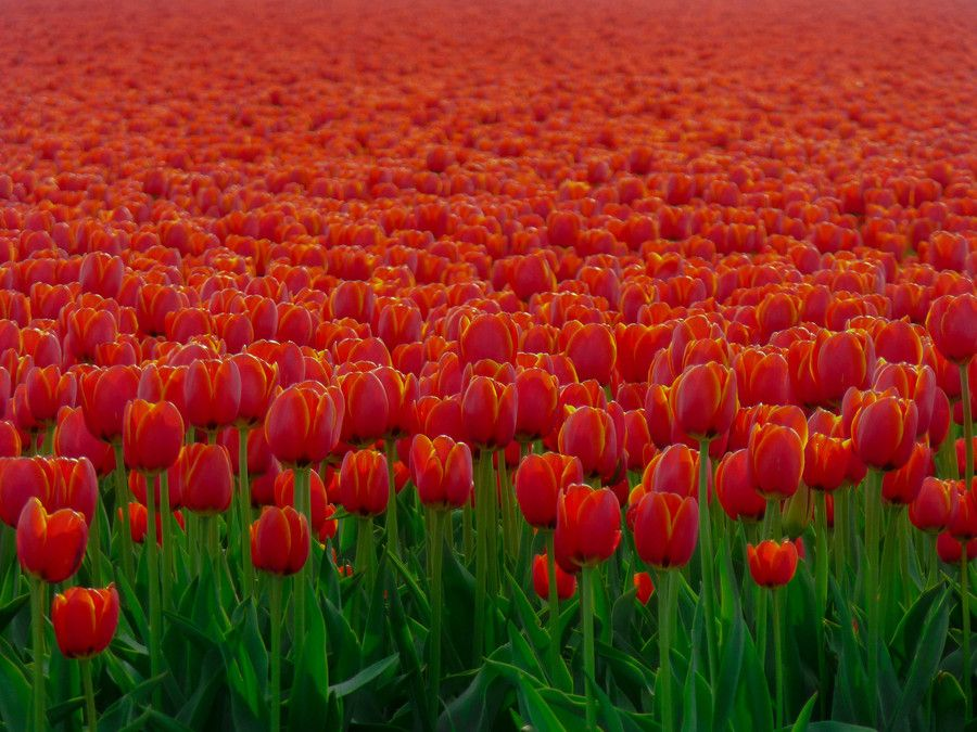 25. Tulip Ocean by Daniel Serpara