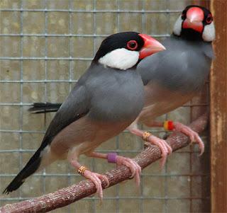 cara jitu berternak burung gelatik, berternak gelatik jawa, membuat burung gelatik mabung