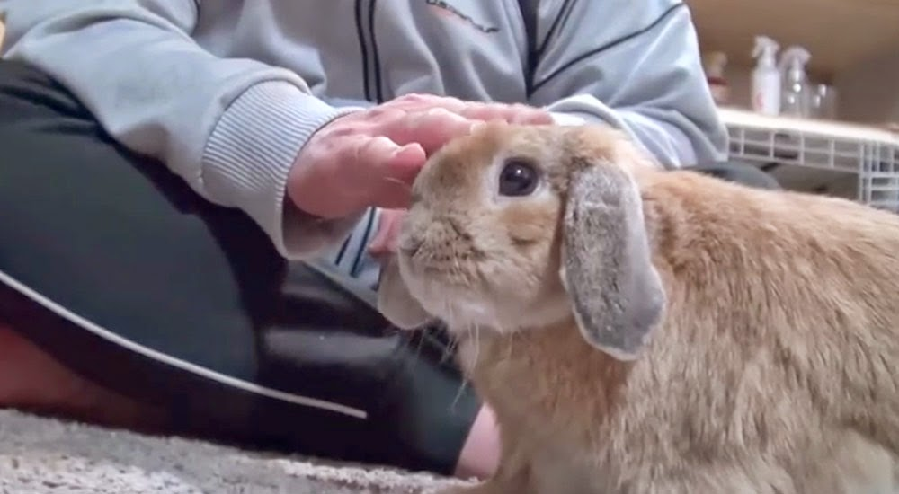 The Bunny Hut: How to Pick Up & Handle Your Bunny