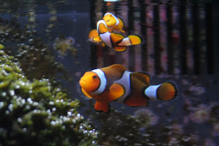 ocellaris clown fish colors