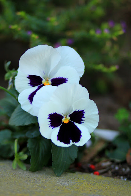 White and Purple Pansies Photo