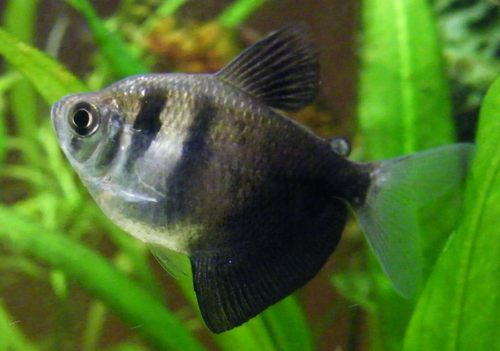 the black tetra has a roughly tetragonal body shape and is greyish in ...
