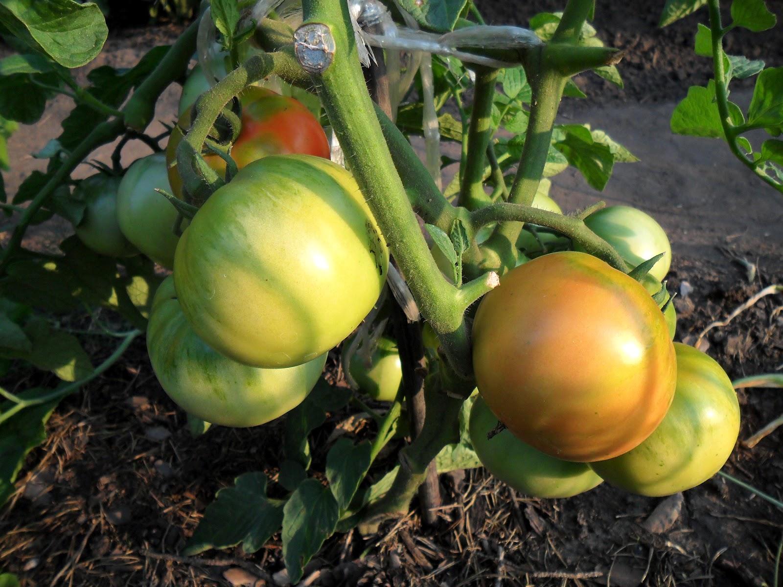 Фото по самые помидоры 18 фотография