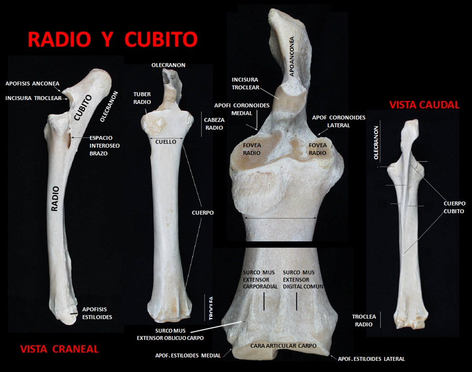 Famoso Radio Y El Cúbito Anatomía Bosquejo - Imágenes de Anatomía ...