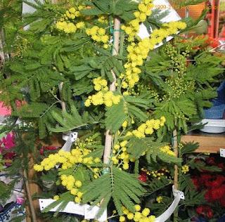 Jardineria, Catalogo de Plantas: Acacia Armata