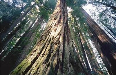 sequoia Hyperion arbol mas alto mundo