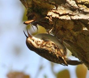 Treecreeper