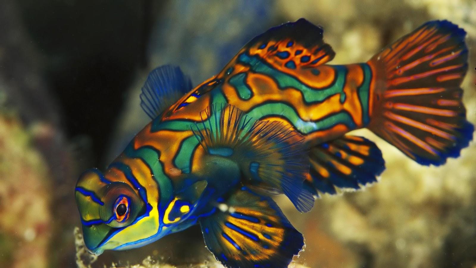 Aquarium Fish - Mandarin Fish - Pets Cute and Docile