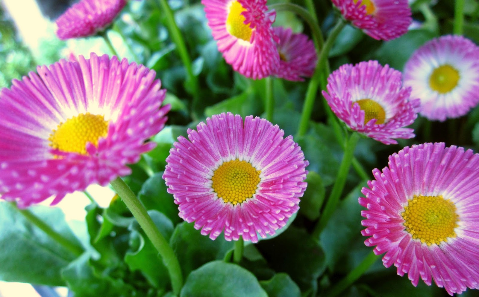 Bloom of the day pink english daisy pink english daisy izmirmasajfo