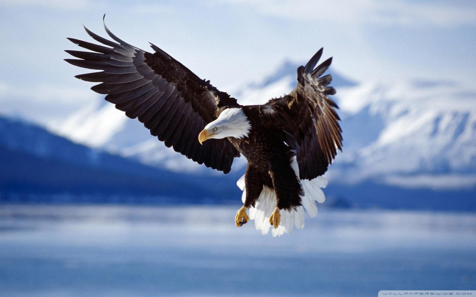 http://4.bp.blogspot.com/-G0NyczyIkFg/UIU2c7juyDI/AAAAAAAACGY/ucEJAzyGXco/s1600/bald_eagle-wallpaper-1920x1200.jpg