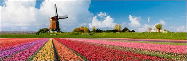 05 شهر مايو في هولندا  موسم حصاد زهور التوليب  جنة على الأرض