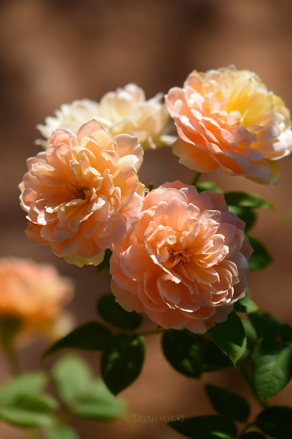 roses, rose, flowers, photography, photograph, sarah, myers, beautiful, plants, garden, summer, sunlight, flores, rosa, plantas, blumen, pink, peach, glow, nikon, smallsunnygarden, desert, garden, gardening, English, David, Austin