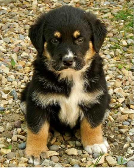 Rottweiler and German Shepherd Mix Puppies