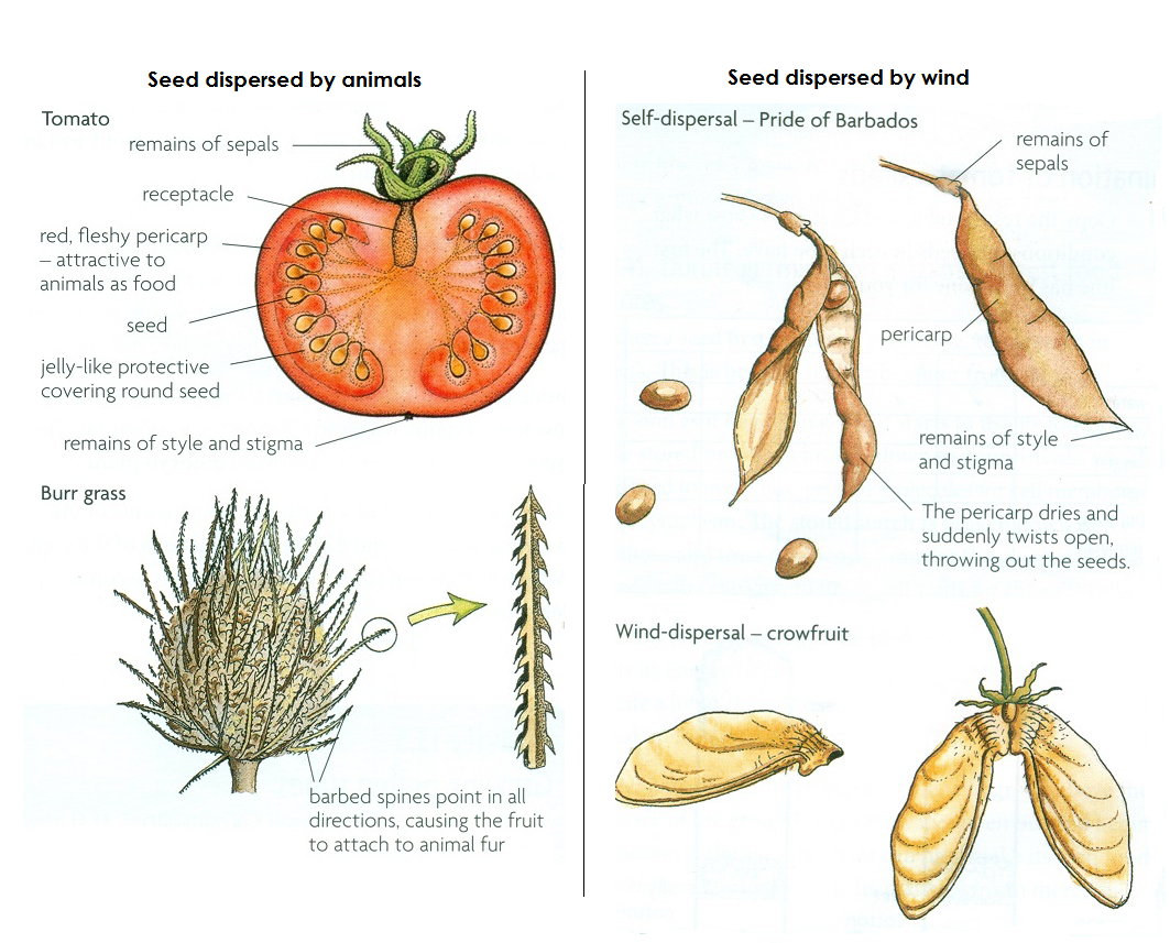 110 Seed Dispersal Biology Notes For Igcse 2014 Bean Germination Diagram 9 3 1 Draw And Label A Eventually The Seeds Drops Off Or Animal Grooms Itself To Remove Them This Disperses Away From Parent Plant