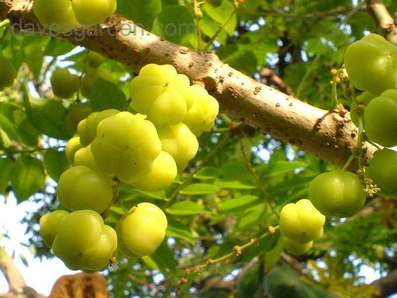 The Earth of India: All About Star Gooseberry (Phyllanthus ...