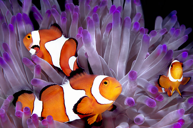 Anemone fish or Clown fish, one of the popular species of Austraila's