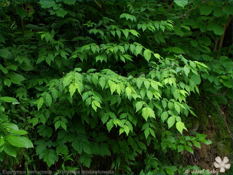 Euonymus verrucosus - Trzmielina brodawkowata pokrój