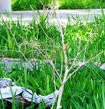 Mueren y sin cuidado plantas ornato parque Ceibo, Calkiní.11may11.