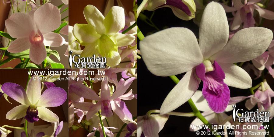 秋石斛品種多樣化  | iGarden花寶愛花園