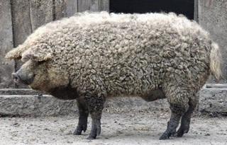 Ada 'Babi Berbulu Domba', Anda Perlu Teliti