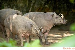 babirusa