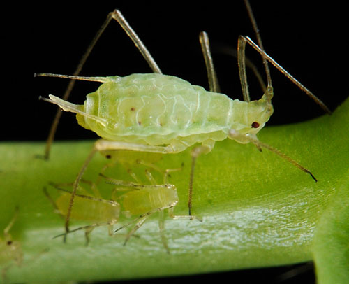 Erbsenläuse. | copyright: shipher wu (photograph), gee-way lin (aphid