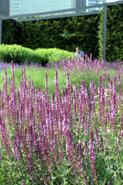 Salvia blooming Lurie Garden