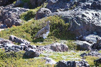 Lagopus leucura – White-tailed Ptarmigan and Empetrum nigum – Crowberry
