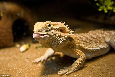 lagarto australiano que muda de sexo
