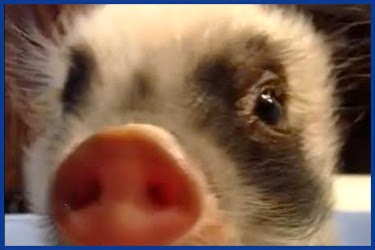 Lustiges Schweinchen mit Stiefeln Jappy GB Bilder GB  - Lustige Schweinchen Bilder
