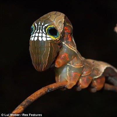 The Rare 'Skull Caterpillar of Australia