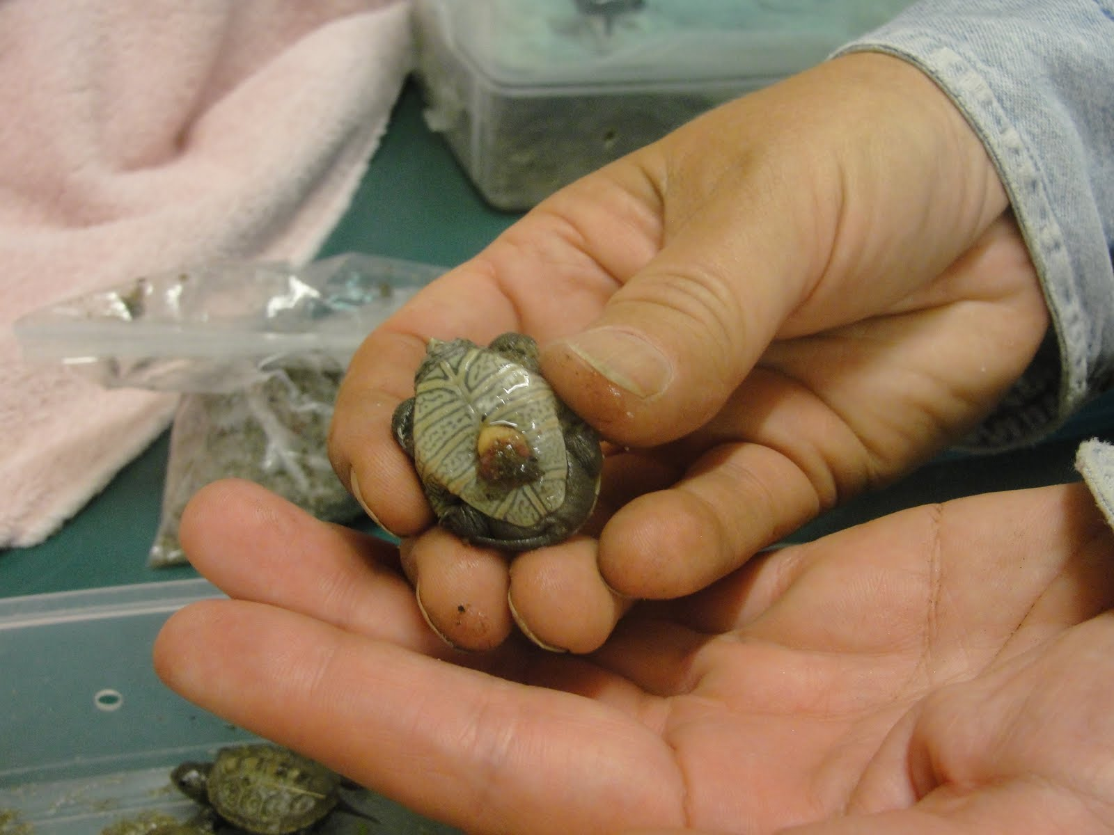 It S Baby Terrapin Time Mary Richmond S Cape Cod Art