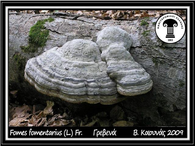 Fomes fomentarius (L.) J.J. Kickx