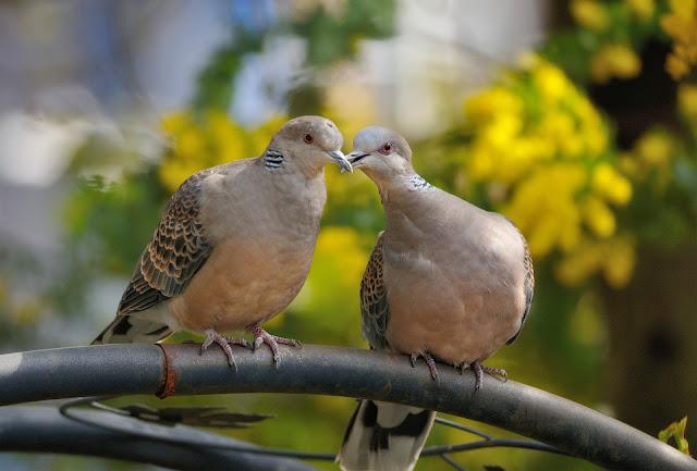 Love Pigeons Doll Wallpaper