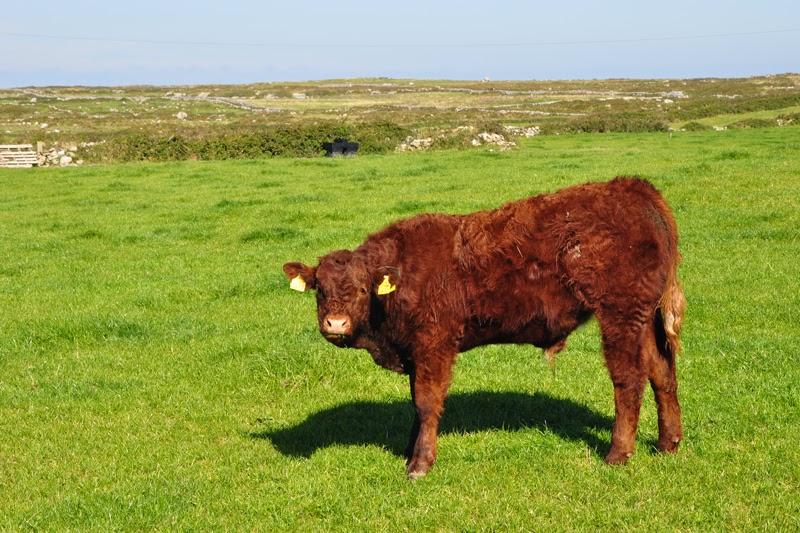 Irland 2014 - Vorspann | Smartphone/Internet | Ein Rind auf einer Weide bei Doolin