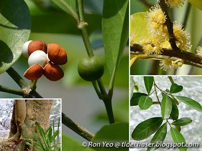 Limau Hantu (Suregada multiflora)