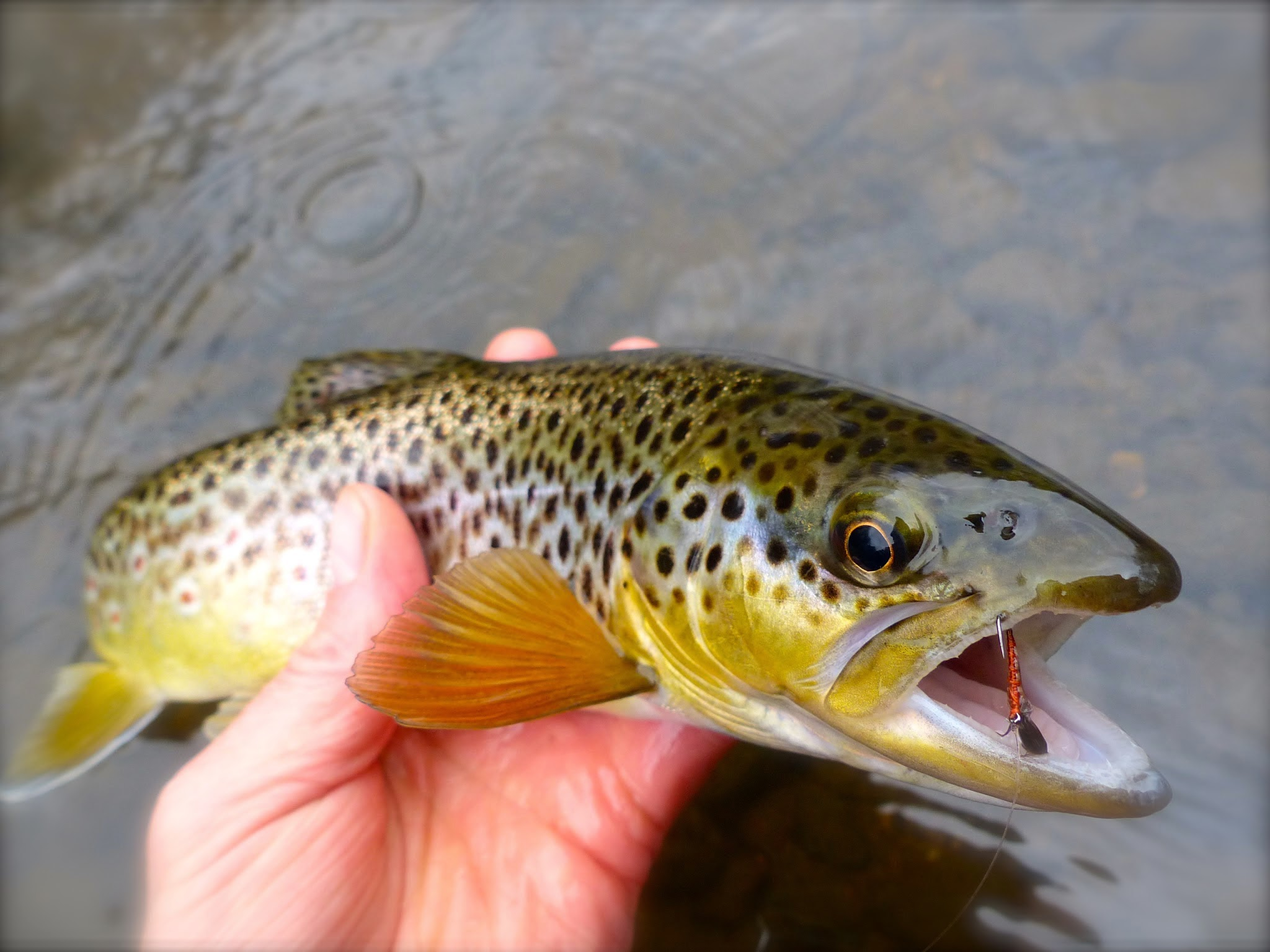 Brown Trout on a Foam Dun
