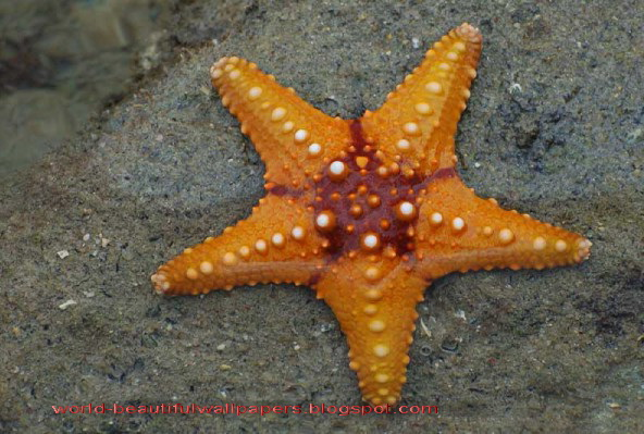 Royal Starfish Facts For Kids