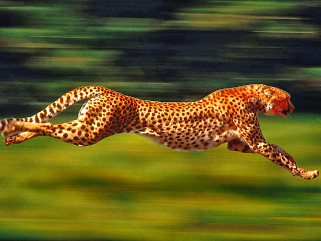 The fastest animals on Earth are: cheetah