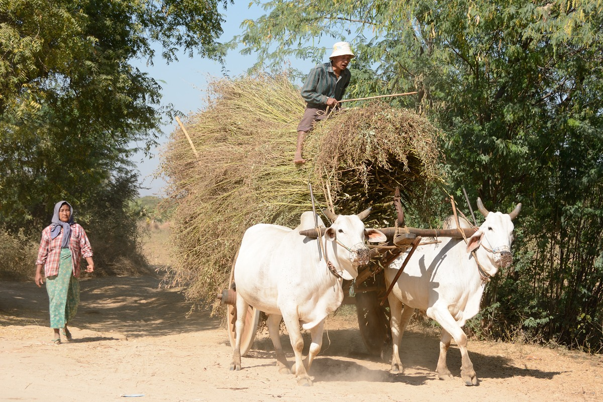 Ox cart hauling material from the field in Min Nan Thu village at Nyaung U near Bagan, Myanmar