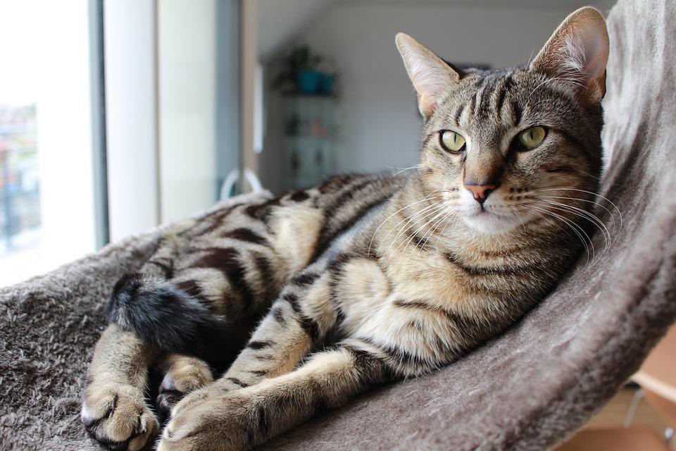 My Favorite Animal the Tabby Cat